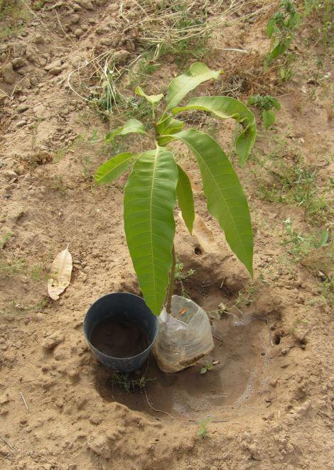 Anacardier à la plantation